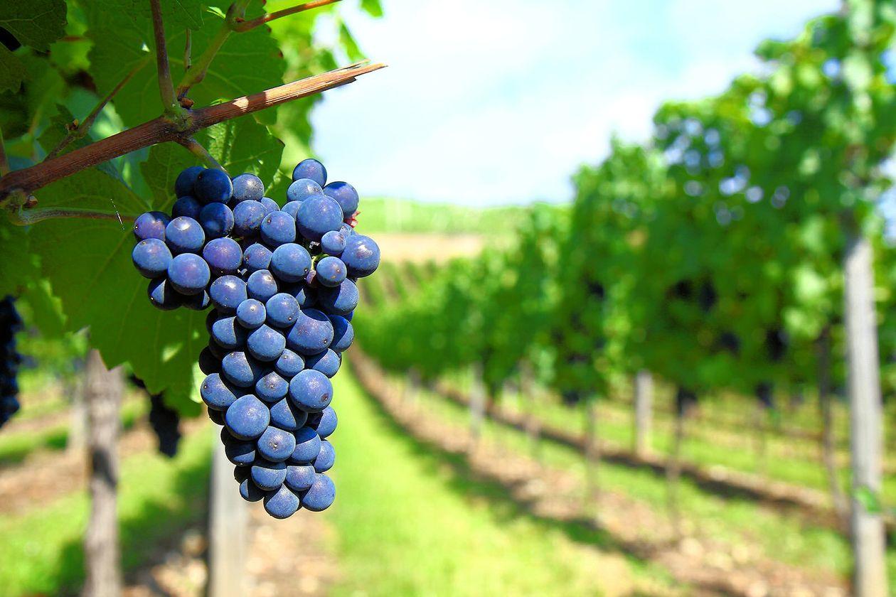 De ce scutiri vor beneficia producătorii din sectorul vitivinicol?